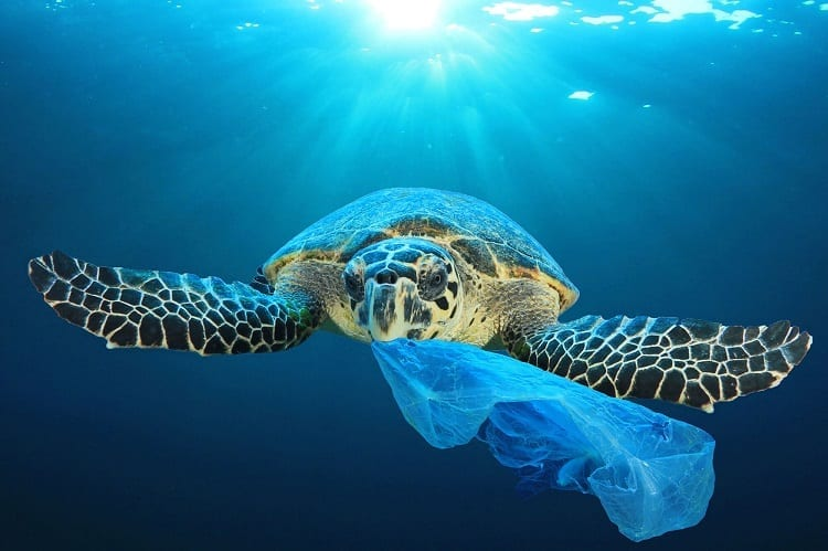 Sea Turtle With Plastic Bag In Mouth