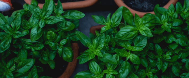 Growing Basil Guide