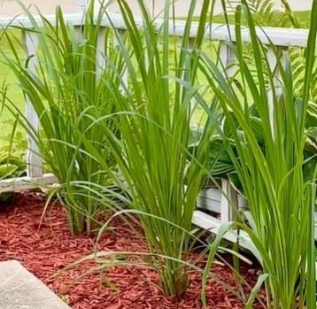 Three tall Lemongrass Plants outdoors, in front of a white wooden railing