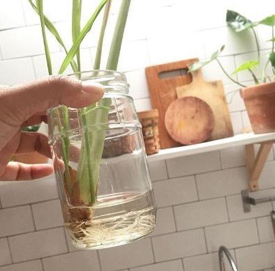 A glass jar of water with Lemongrass cuttings that have new roots in front of white subway tiles and a shelf