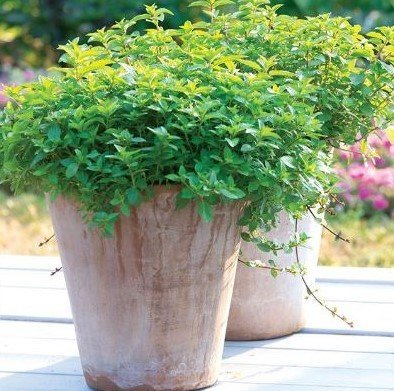 Two busy Oregano plants growing in large pots outdoors