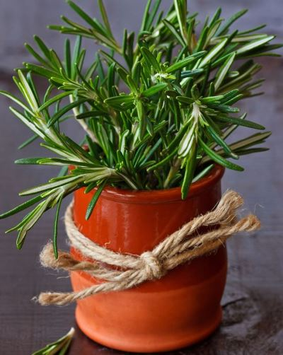 Small Rosemary plant in a terracotta pot indoors