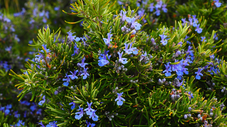 Rosemary feature