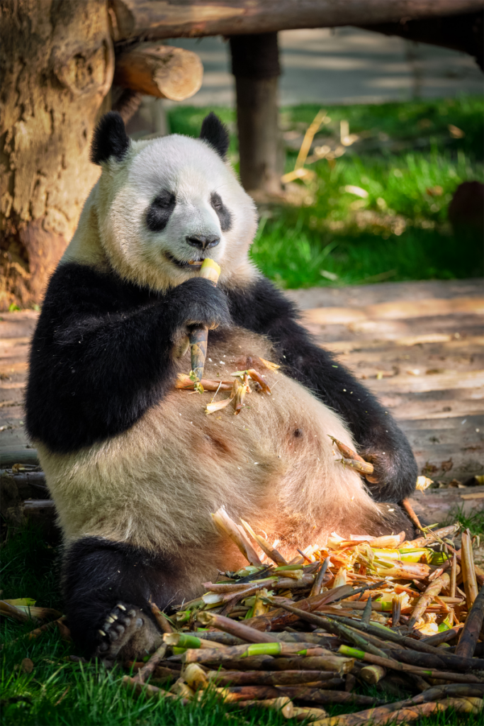 Image from Canva.com of a Panda Bear eating bamboo and looking really pleased with life
