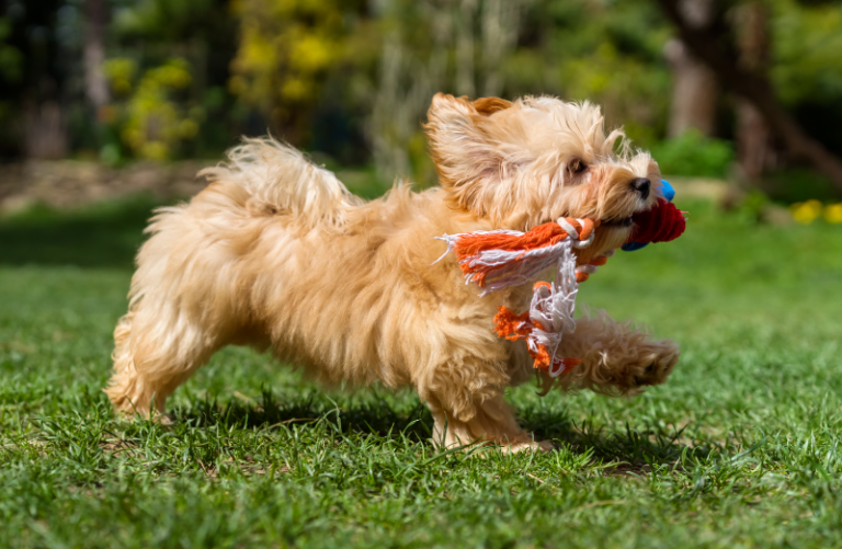 Eco-friendly dog toys - Stock image from Canva of a little brown god running outdoors with a cotton rope toy
