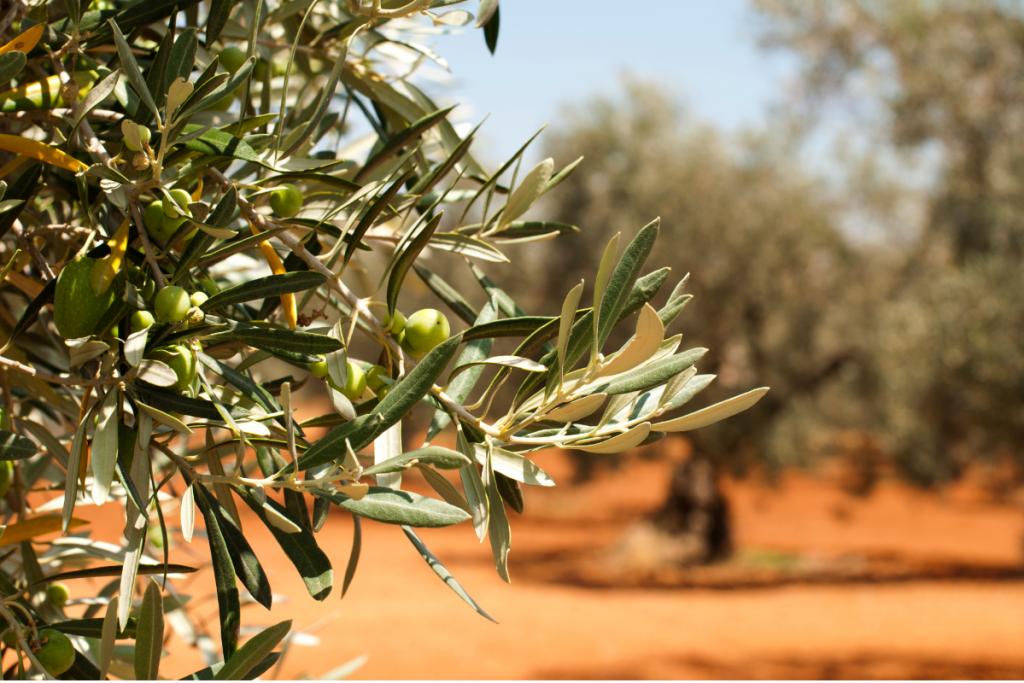 Growing Olives - Canva Image ofOlive Tree in the Sun