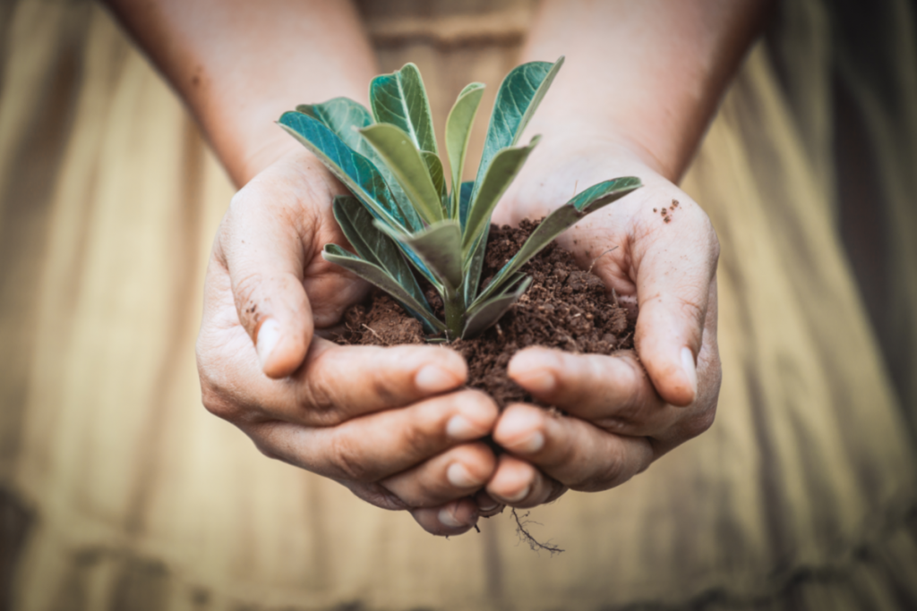 Growing Olives - Canva Image of womans hands holding soil and a seedling