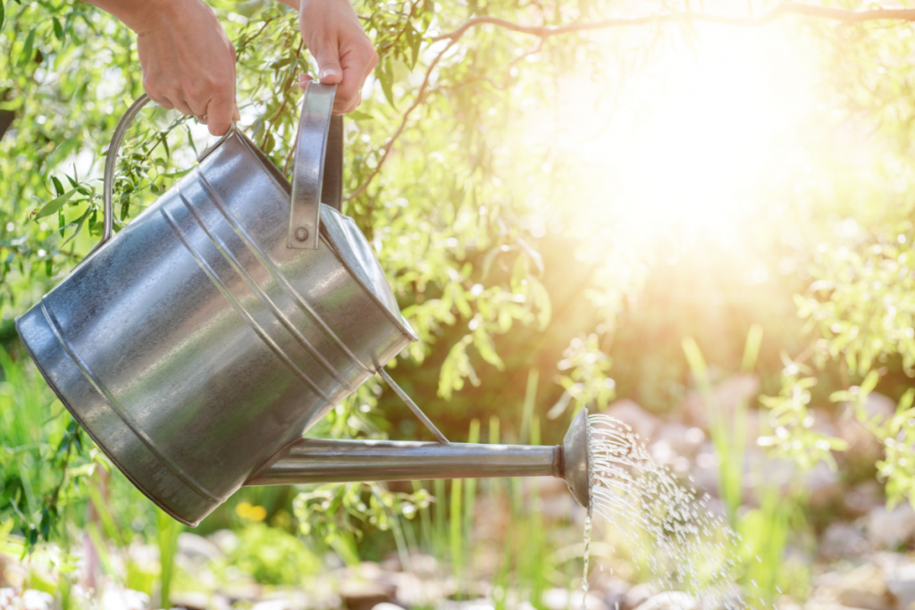 Growing Olives - Canva Image of watering can in the sunshine